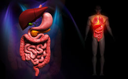Human digestive system. Digital illustration of human digestive system in colour background Royalty Free Stock Images