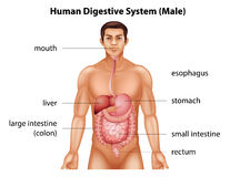 Human digestive system Stock Images