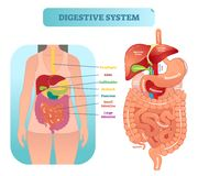Human digestive system anatomical vector illustration diagram with inner organs. Human digestive system medical anatomical vector illustration diagram with Stock Illustration