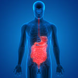 Human Digestive System Anatomy Stock Photography