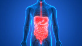 Human Digestive system Anatomy Liver with Stomach, Large and Small Intestine Stock Image