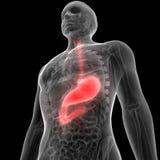Human Digestive system Anatomy Stomach. 3d illustration of Human Digestive system Anatomy Stomach Stock Image