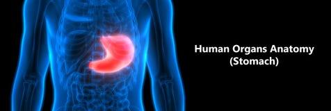 Human Digestive system Anatomy Stomach. 3D Illustration of Human Digestive system Anatomy Stomach Stock Photography