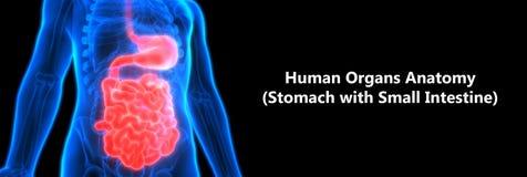 Human Digestive system Anatomy Stomach with Small Intestine. 3D Illustration of Human Digestive system Anatomy Stomach with Small Intestine Royalty Free Stock Photo
