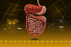 Human digestive system. In color background royalty free stock photography