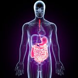 3D Illustration of Human Digestive System Anatomy Stomach with Small Intestine Stock Photos