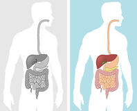 Human Digestive System Stock Photos