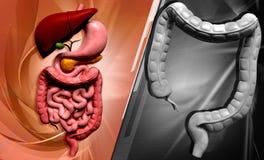 Human digestive system Stock Photos