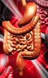 Human digestive system Stock Photography
