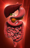 human digestive system royalty free illustration