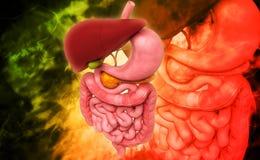 Human digestive system Royalty Free Stock Photos