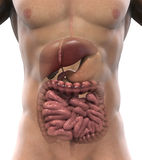 Human Digestive System Royalty Free Stock Image