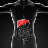 Human digestive system liver red colored Stock Photography