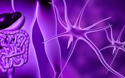 Human digestive system and neuron Stock Images