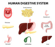 Human Digestive System. Set Royalty Free Stock Photos