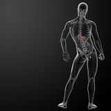 Human digestive system stomach Stock Images