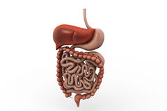 Human digestive system. In white background royalty free stock images