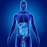 Human Digestive System With Organs Anterior View Royalty Free Stock Photography