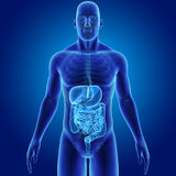 Human Digestive System With Skeleton Anterior View Royalty Free Stock Images