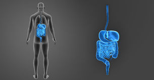 Human Digestive System Zoom With Organs Posterior View Royalty Free Stock Image