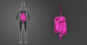 Human Digestive System Zoom With Skeleton Anterior View Stock Photos