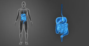 Human Digestive System Zoom With Skeleton Anterior View Royalty Free Stock Image