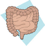 Human Digestive Tract Royalty Free Stock Image