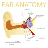 Human ear anatomy Royalty Free Stock Photos