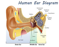 Human Ear Diagram Stock Photo
