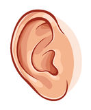 Human ear. Illustration of realistic human ear isolated on white Royalty Free Stock Images