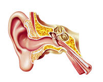 Human ear, realistic cutaway diagram. Anatomy illustration. With clipping path included Royalty Free Stock Photography