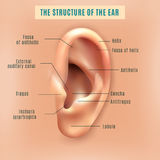 Human Ear Structure Medical Background Poster. Outer external part of human ear structure picture and definitions medical anatomy educative background poster Stock Photography