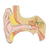 Human ear structure medical educational vector Royalty Free Stock Photo
