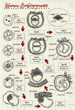 The human embryogenesis diagram Stock Images