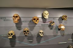 Human evolution tree. Board at Natural History Museum in London,  with example skulls representing modern homo sapiens and all extinct hominids including Royalty Free Stock Photos