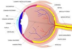Human eye vector illustration