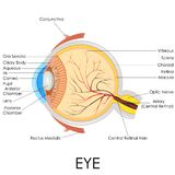 Human Eye Anatomy Royalty Free Stock Photo