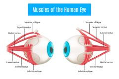 Human Eye Anatomy Diagram. Eye anatomy 3d diagram infographics layout showing human eyes muscles in side view with labeling vector illustration Royalty Free Stock Photo