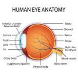 Human eye anatomy Stock Photo