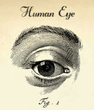 Human Eye. Anatomy Vector. Royalty Free Stock Images