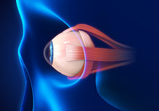 Human Eye Extraocular Muscles Royalty Free Stock Images