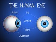 The human eye Stock Image