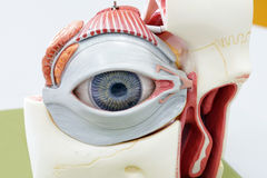 Human eye model. For education royalty free stock image