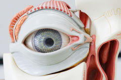 Human eye model. For education Royalty Free Stock Photo
