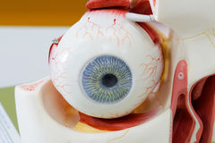 Human eye model. For education stock photos