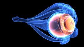 3d illustration of human body eye anatomy Stock Photos