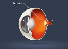 Human eye - retina. High quality raster illustration of retina in human eye stock illustration