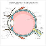 Human eye structure scheme vector Royalty Free Stock Photos