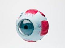 Human eyeball. Anatomic study model of an human eyeball Stock Photos