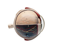 Human eyeball. Anatomic study model of an human eyeball Royalty Free Stock Image